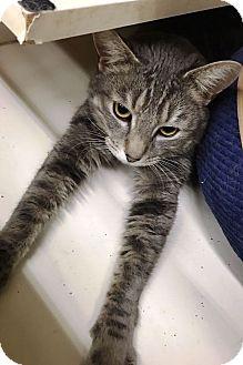 Domestic Shorthair Cat for adoption in Anoka, Minnesota - Boss