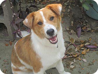 Australian Shepherd/Border Collie Mix Puppy for adoption in Seattle, Washington - EMILY