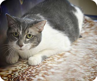Domestic Shorthair Cat for adoption in Chaska, Minnesota - Millie
