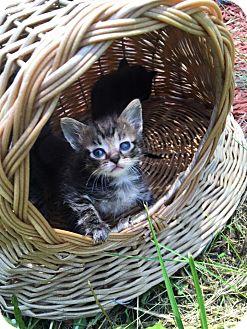 Domestic Shorthair Kitten for adoption in Silver Lake, Wisconsin - Gouda