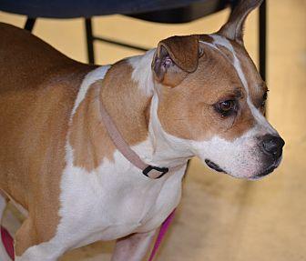 Bulldog/Boston Terrier Mix Dog for adoption in Albemarle, North Carolina - Kylie
