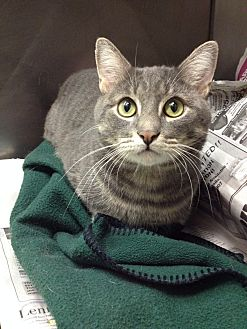 Domestic Shorthair Cat for adoption in Marlton, New Jersey - Frick