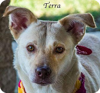 Labrador Retriever Mix Puppy for adoption in Lancaster, Texas - Terra