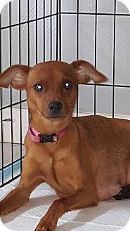 Miniature Pinscher Mix Dog for adoption in WESTMINSTER, Maryland - Skye