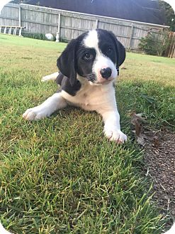 Border Collie Mix Puppy for adoption in Colmar, Pennsylvania - Tucker