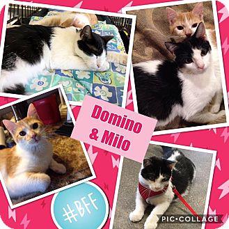 Domestic Shorthair Kitten for adoption in Keller, Texas - Milo