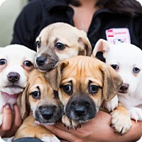 Adopt A Pet :: China Puppies - Females - San Diego, CA