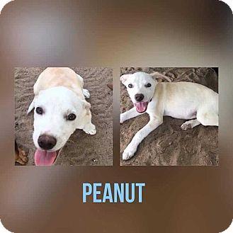 Labrador Retriever/Shepherd (Unknown Type) Mix Puppy for adoption in Mesa, Arizona - PEANUT