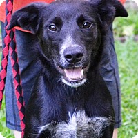 Australian Cattle Dog/Cattle Dog Mix Dog for adoption in Enfield, Connecticut - Toby