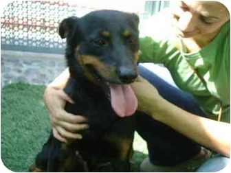 Rottweiler/Shepherd (Unknown Type) Mix Dog for adoption in Los Angeles, California - Joe