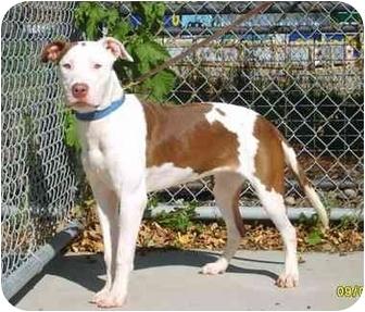 American Staffordshire Terrier/Pit Bull Terrier Mix Dog for adoption in Austin, Minnesota - Geisha