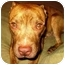 Photo 3 - American Staffordshire Terrier Mix Dog for adoption in New Rochelle, New York - Storm