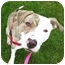 Photo 2 - American Pit Bull Terrier/Whippet Mix Dog for adoption in Portland, Oregon - Jelly Bean
