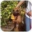 Photo 4 - Terrier (Unknown Type, Medium)/Belgian Malinois Mix Dog for adoption in Coral Springs, Florida - Cindy