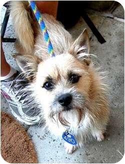 Cairn Terrier Mix Dog for adoption in Vista, California - Watson