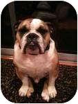 English Bulldog Dog for adoption in conyers, Georgia - otis