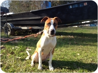 Boxer Mix Puppy for adoption in Baton Rouge, Louisiana - Buttercup