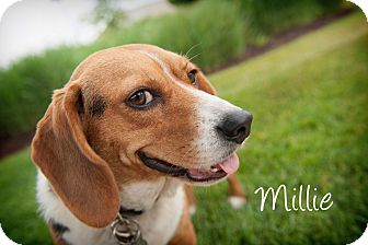 Beagle Dog for adoption in Howell, Michigan - Millie