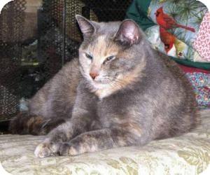 Domestic Shorthair Cat for adoption in Milwaukee, Wisconsin - Possum