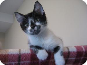 Domestic Shorthair Kitten for adoption in Eagan, Minnesota - Jackson