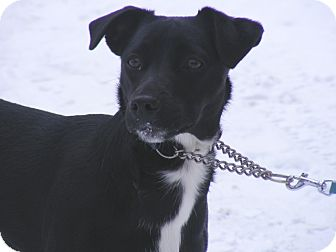 Labrador Retriever/Border Collie Mix Dog for adoption in Rigaud, Quebec - Vicky