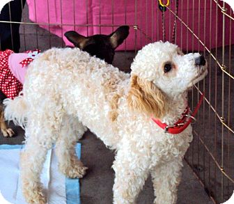 Poodle (Standard) Mix Puppy for adoption in San Diego, California - Tango