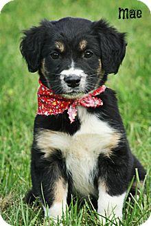 Australian Shepherd/Catahoula Leopard Dog Mix Puppy for adoption in Glastonbury, Connecticut - Mae