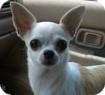 Chihuahua Mix Dog for adoption in St. Petersburg, Florida - Sassy