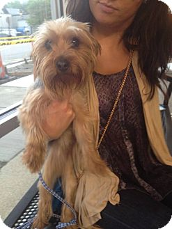 Yorkie, Yorkshire Terrier Dog for adoption in Chicago, Illinois - COCO