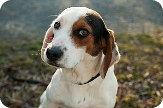 Beagle/Basset Hound Mix Dog for adoption in Westport, Connecticut - *Harry - PENDING