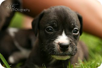 Pit Bull Terrier Mix Puppy for adoption in Mansfield, Ohio - Giselle
