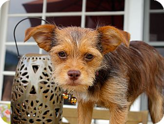 Border Terrier Mix Puppy for adoption in Los Angeles, California - Gingersnap