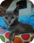 Domestic Shorthair Kitten for adoption in Port Republic, Maryland - Sammi
