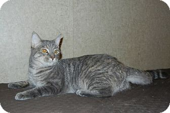 Domestic Shorthair Cat for adoption in Lasalle, Illinois - Kristen
