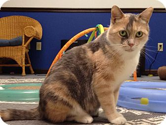 Domestic Mediumhair Cat for adoption in Austintown, Ohio - Zoey