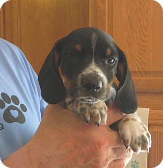 Dachshund Mix Puppy for adoption in Conesus, New York - Caleb