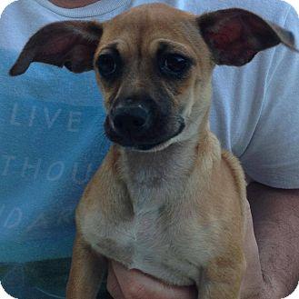 Chihuahua/Dachshund Mix Dog for adoption in Hamburg, Pennsylvania - Daisy