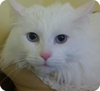 Oriental Cat for adoption in Newburgh, Indiana - Sunny- Pure !