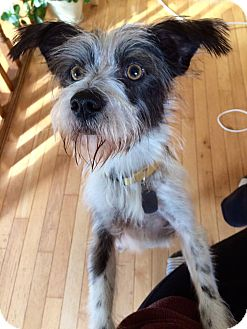 Terrier (Unknown Type, Small) Mix Dog for adoption in Hanover, Ontario - Benji