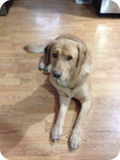 Labrador Retriever Mix Dog for adoption in Barrie, Ontario - Bandit