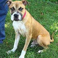 Boxer/Pit Bull Terrier Mix Dog for adoption in Oakland, New Jersey - Joey