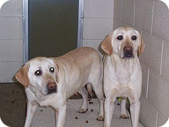 Labrador Retriever Dog for adoption in Libertyville, Illinois - Madison (pictured