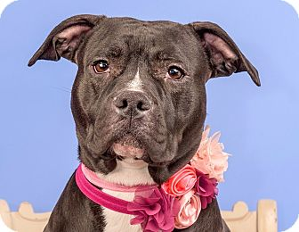 Pit Bull Terrier/Staffordshire Bull Terrier Mix Dog for adoption in Cincinnati, Ohio - Holly
