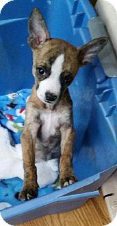 Chihuahua Mix Puppy for adoption in Media, Pennsylvania - Ali the Tiny Chi