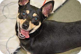 Miniature Pinscher Mix Dog for adoption in Greensboro, North Carolina - Bobo
