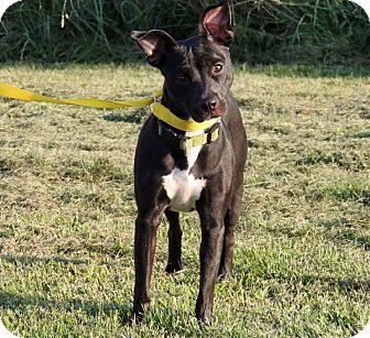 Terrier (Unknown Type, Medium) Mix Dog for adoption in Sullivan, Missouri - Ruby