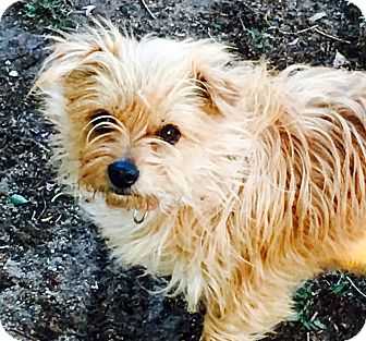 Yorkie, Yorkshire Terrier/Chihuahua Mix Dog for adoption in Sharon, Connecticut - Jenny