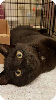 Domestic Shorthair Kitten for adoption in Bensalem, Pennsylvania - Twilight