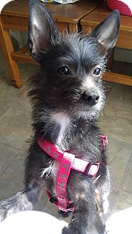 Terrier (Unknown Type, Small)/Cairn Terrier Mix Dog for adoption in Arcadia, California - CeeCee