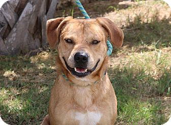 Labrador Retriever/Hound (Unknown Type) Mix Dog for adoption in Pluckemin, New Jersey - Todd